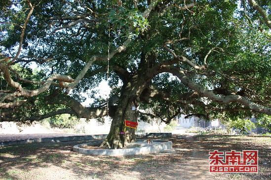 大榕树树枝,树叶横行生长